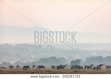 Wildebeests early morning in Masai Mara Kenya
