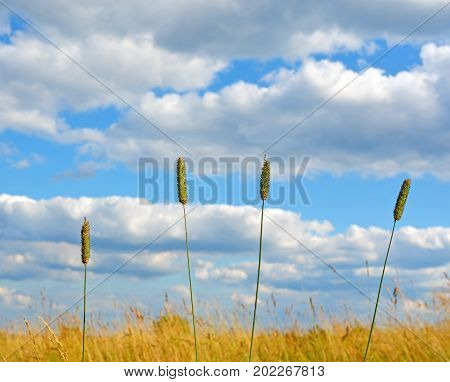 End of summer. Heat. Bright blue sky with beautiful cumulus clouds over field with dry grass. Four spikelets in foreground. Landscape. Background.