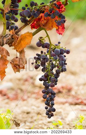 Sun Dried Ripe Red Wine Grape Ready To Harvest