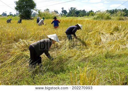 Farmer group harvest in rice paddy at countryside of Thailand.