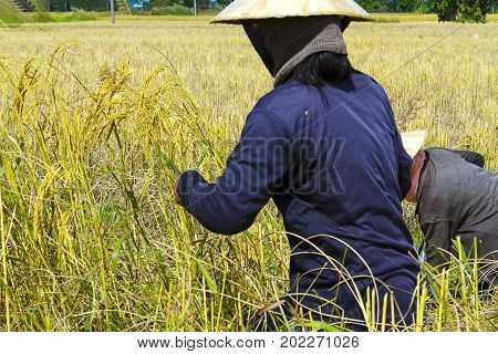 Two farmer harvest in rice paddy and hot sunny at countryside of Thailand.