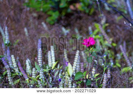 MELASTOMATACEAE; Osbeckia stellata Ham. flower blur with forest grass at Mukdahan Nation Park Thailand.