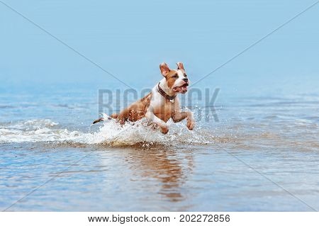Beautiful pale blue dog breed American Staffordshire Terrier bathe in water, jumps and sprays on a blurred background