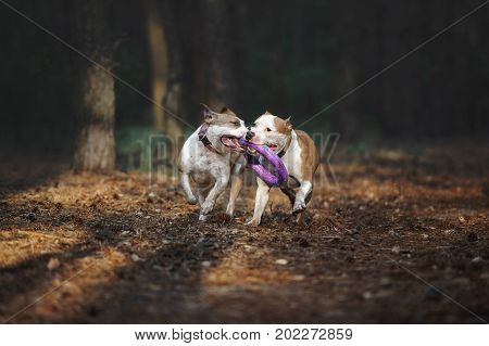 Two beautiful dogs play together and carry the toy to the owner. Aport performed by the American Staffordshire Terriers. Dogs run in the forest on a dark background