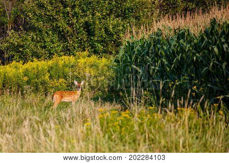 White-tail deer fawn (odocoileus virginianus) standing next to a Wisconsin cornfield in late summer