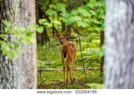 White-tail deer fawn (odocoileus virginianus) standing and looking back in a Wisconsin forest