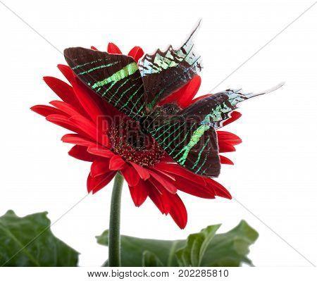 Sunset Moth (urania Leilus)