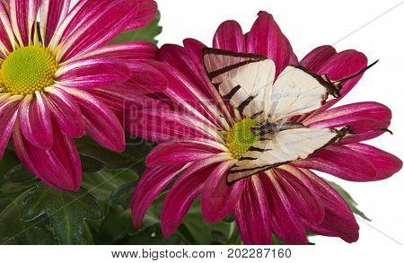 Fourbar Swordtail Butterfly