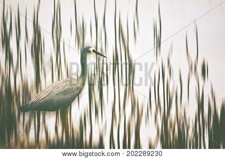 Australian White-faced Heron, Egretta novaehollandiae, wading through Shoalhaven River reeds, NSW, Australia. Digital photo manipulation.