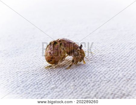 Hermit crab on a white background, shell