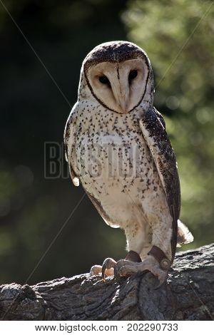 the sooty owl is perched on a tree branch