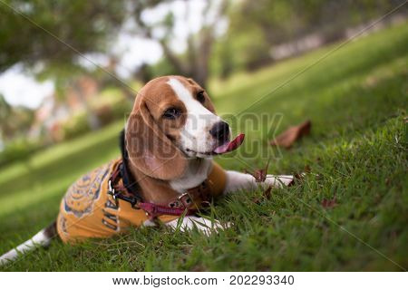 Portrait cute face Beagle puppy dog wear clothes and leash sitting on green grass or meadow, selective focus at Beagle face. Obedient pet in the summer park