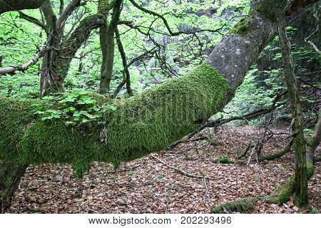Old lodgepole branch of beech tree covered with moss - detail
