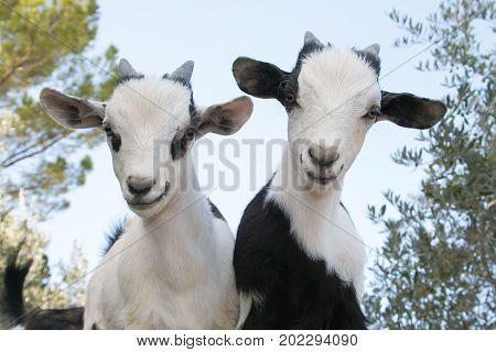Portrait of beautiful baby dwarf tibetan goats