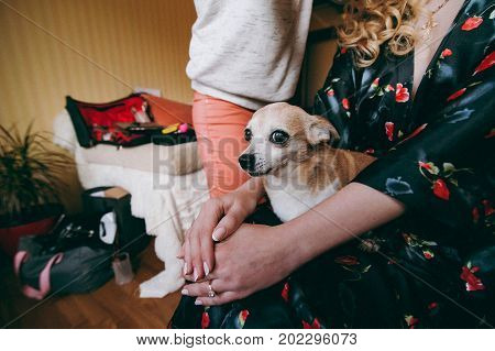 A Small Chihuahua Dog Sits On The Hands Of The Mistress