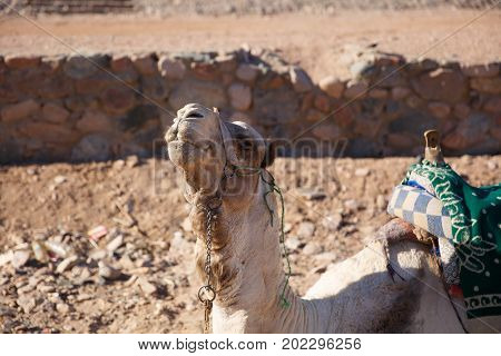 A Big Camel In Egypt Waiting For A Walk