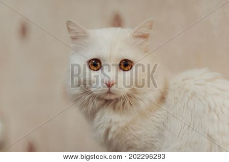 Beautiful White Cat With Long Hair And Orange Eyes