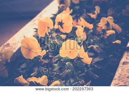 Bright Yellow Petunias