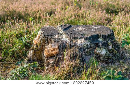 Old tree stump covered with fungi between flowering heath and other wild plants. It's a sunny day in the Dutch summer season.