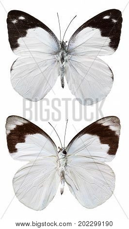 Plain Puffin Butterfly