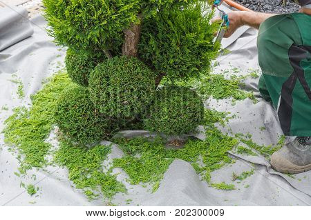 Tree, thuja or beech tree with a hedge shears in form.
