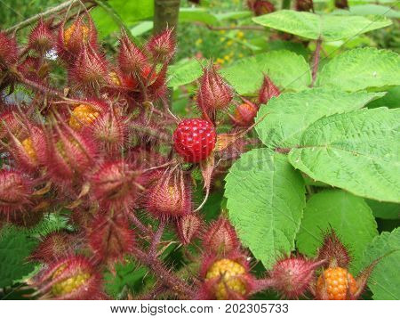 Tasty fresh growing japanese wineberry in a garden