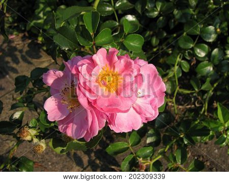 Blooming rosa rugosa flower in a garden