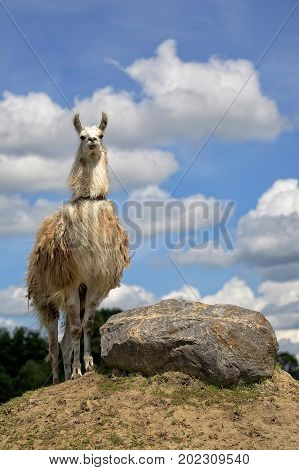Lama in the wild in a clearing