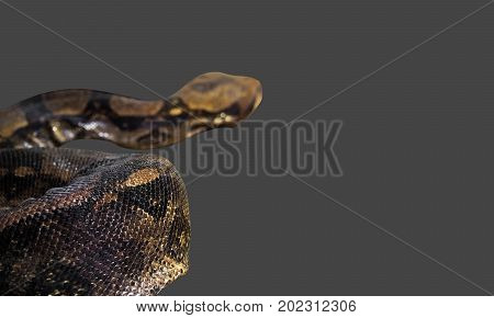 Closeup Scales of Boa Constrictor Isolated on Gray Background Clipping Path