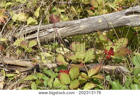 Stone bramble berry (Rubus saxatilis) and a dry branch in sunshine picture from the North of Sweden.