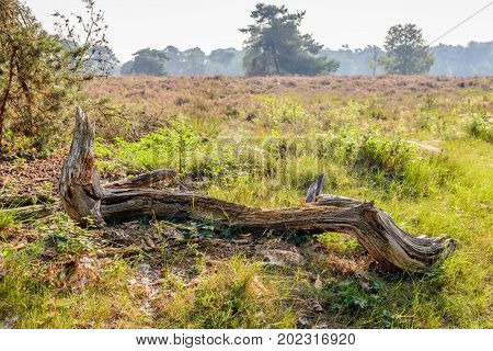 Thick weathered tree branch in the foreground of a Dutch nature reserve with flowering heath in the background. It is early in the morning of a sunny day in the summer season.