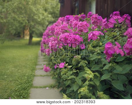 Bunch of phlox footpath and a wooden house. Particular focus photo