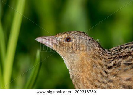 Corncrake or landrail (Crex crex) bird in close up. Grassland wildlife image.