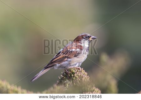 Male house sparrow (Passer domesticus) English countryside wildlife