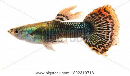 Colourful Guppy Fish