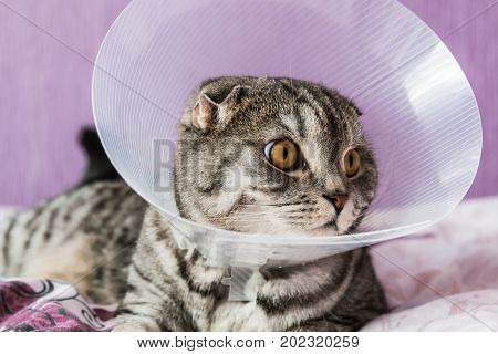 sick Scottish cat in a plastic protective collar. portrait of a sick cat