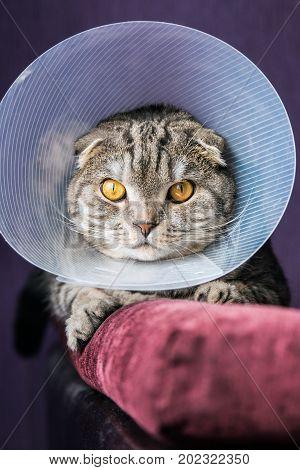 sick Scottish cat in a plastic protective collar. portrait