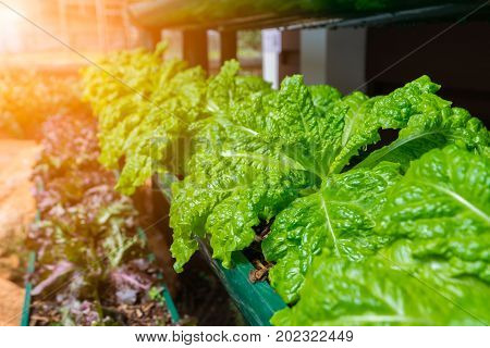 Fresh salad leaf lettuce in hydroponic vegetable leaves, close up.