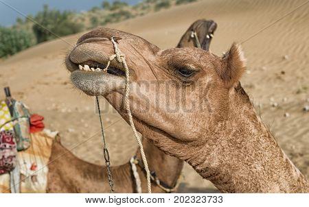 Camel during desert safari Sam Sand Dune Jaisalmer Thar Desert India