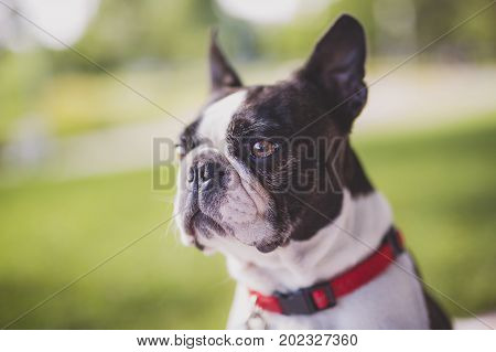 A black and white Boston Terrier wearing a red harness