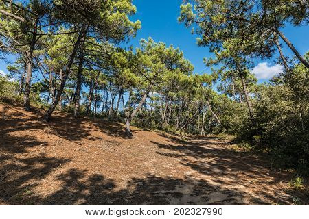 State Forest of Olonne in les Sables d'Olonne (Vendee, France)