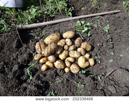Potato harvesting , Fresh potatoes when harvested from organic farms , Potatoes and hoe in the garden