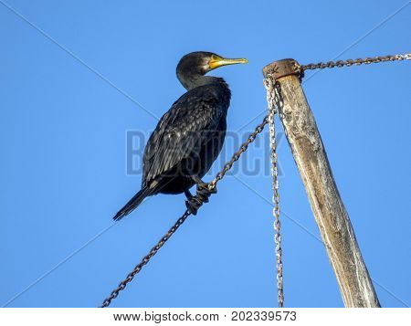 cormorant Phalacrocorax nigrogularis asian, background, beak, beautiful,