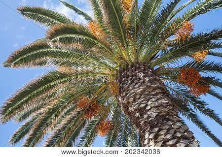 Date Palm With Sweet Fruits Under Blue Sky