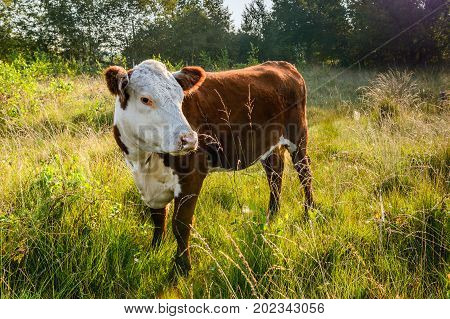 Backlit image of a Hereford cow standing and looking around in a Dutch nature reserve early in the morning of a sunny day in the summer season. The grass is still wet from dew droplets.