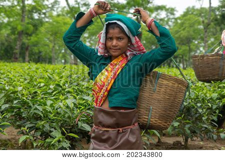 2013 06, India, Assam: Indian female tea picker carrying traditional tea basket on her head plucks tea leaves on tea plantations in Assam