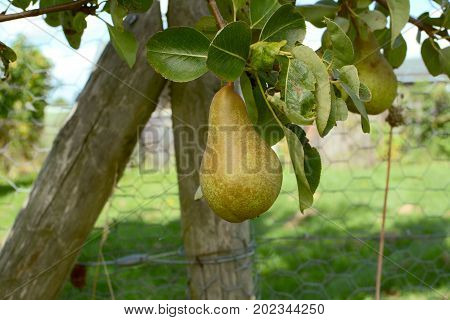 Single Pear Hanging From Branch