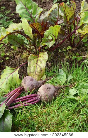 Vegetable Bed With Freshly Picked Beetroot