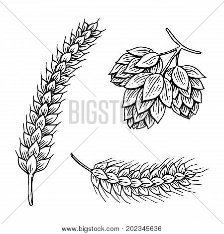 Barley and wheat, malt and hops. Beer of oktoberfest. engraved in ink hand drawn in old sketch and vintage style for web or pub menu. design element isolated on white background