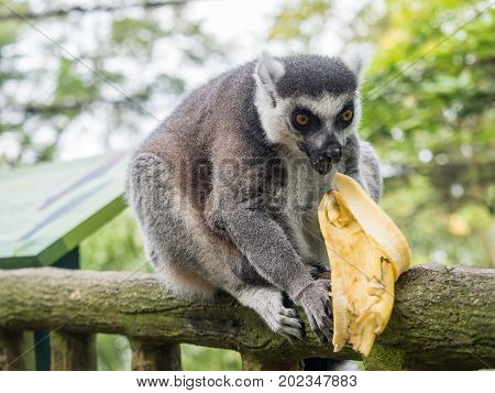 Ring-tailed lemur Lemur catta eating a banana in the zoo